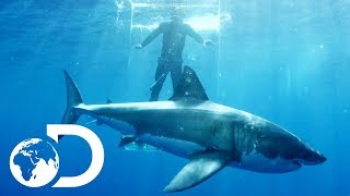 Video Gigantic Sharks Break Into Ghost Cage | Island of The Mega Shark MP3, 3GP, MP4, WEBM, AVI, FLV Agustus 2019