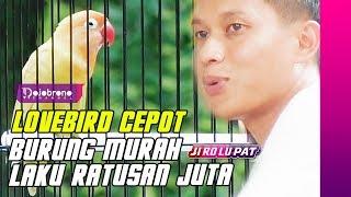 Video INI RAHASIA Perawatan LOVEBIRD CEPOT Burung Murah yang Laku Ratusan Juta MP3, 3GP, MP4, WEBM, AVI, FLV Maret 2018