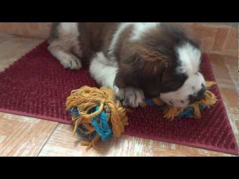 St. Bernard Puppy 45 Days (6 weeks) old – Buddy – Full HD