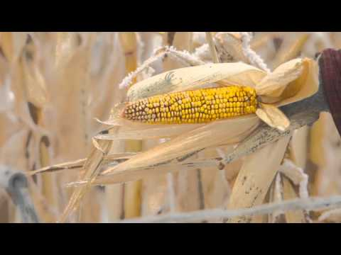 Corn quality when grazing cattle