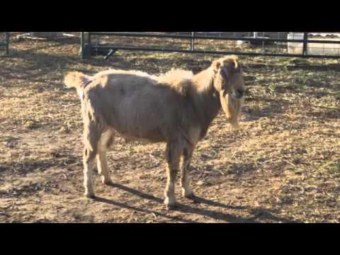 Caramel Apple Farm: Raw Goat's Milk in Colorado