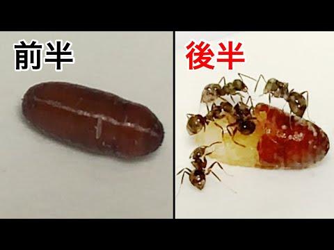 ウジ虫のサナギを食べるアリ。
