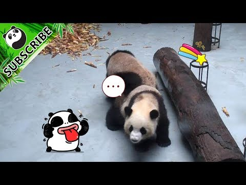 Can't do decline push-up? What you lack is ONE panda! | iPanda