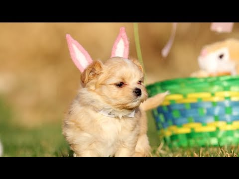 Puppies Youtube on Easter With Chicks  Puppies   Bunnies   Taildom