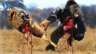 Most Amazing Wild Animal Attacks #13 - Gorilla Fighting, Lion vs Buffalo - CRAZIEST Animal Fights