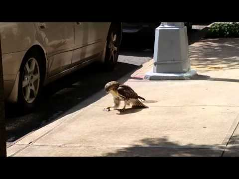 New Yorkers react to a hawk eating a mouse in Manhattan.