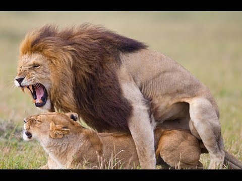 Video Wild Animals Mating 2015 ♥♥♥ Lion Mating Compilation 2015 HD ✤✓ download in MP3, 3GP, MP4, WEBM, AVI, FLV January 2017