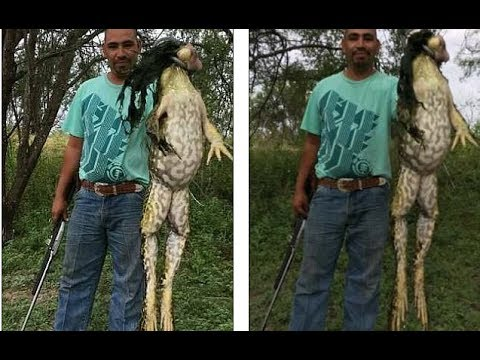 A man is claiming to have caught a 13 pound bull frog in Texas