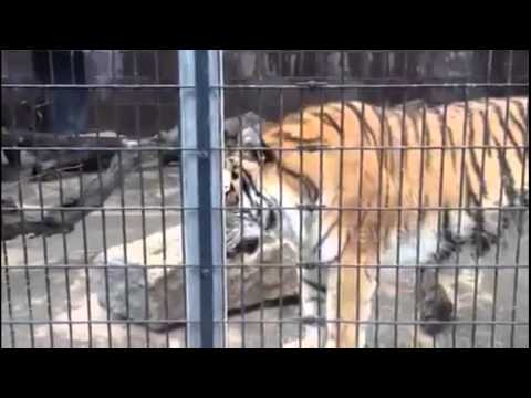 Sprayed By a Tiger