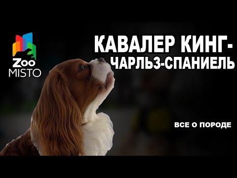 Кавалер кинг-чарльз-спаниель - Все о породе собаки