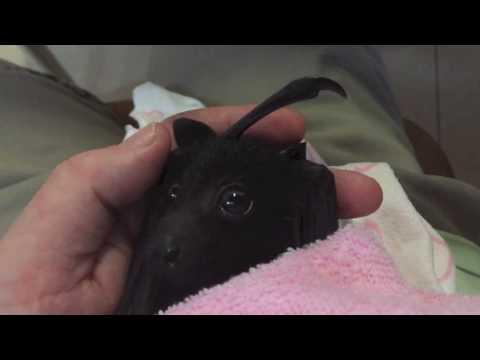 Baby bat's first taste of fruit