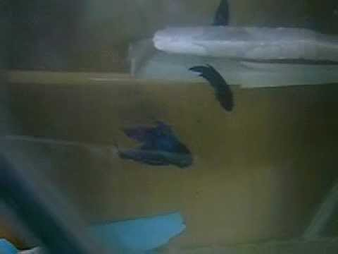 Cara pembiakan ikan laga/How to breed betta fish