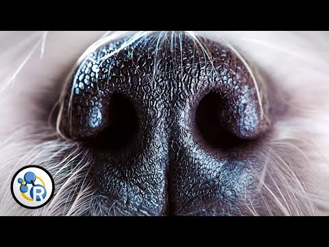 dogs - Here at Reactions, we ask the tough questions to get to the bottom of the biggest scientific quandaries. In that spirit, this week's video explains why dogs sniff each other's butts. It's...