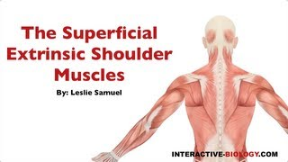 087 The Superficial Extrinsic Shoulder Muscles