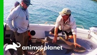 Fisherman Catches Shark While Fishing For Barramundi | Fish Or Die by Animal Planet