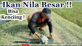 Download Video Ikan nila babon Bisa Buang air # Mr Boled MP3 3GP MP4