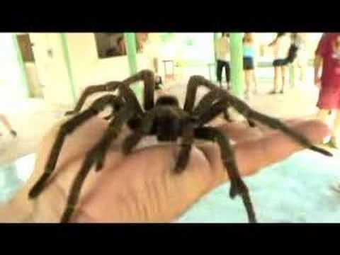 BIG spider – tarantula on my hand