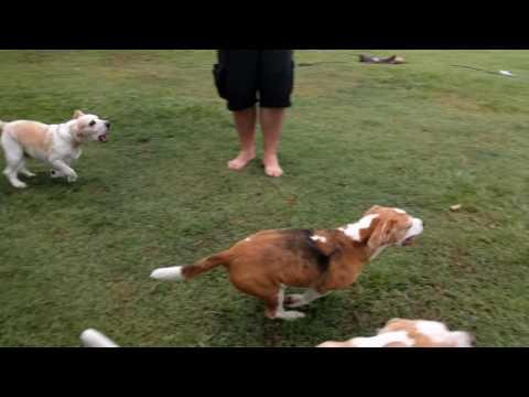 Psy Beagle biegające za zdalnie sterowanym modelem RC