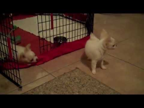 Ultra Tiny Chihuahua Puppies Playing!
