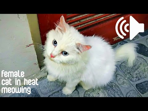 FEMALE CAT IN HEAT MEOWING TO MALE - PRANK YOUR PETS