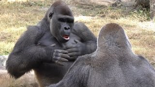 Download Video Gorillas Play Fight 1Hour UHD 4K FYV MP3 3GP MP4