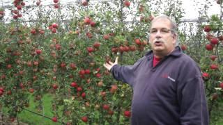 #513 Apfelzüchtung 10v10 - Finale Entscheidung des Züchters