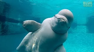 Download Lagu Beluga Whales of the Mystic Aquarium | JONATHAN BIRD'S BLUE WORLD Mp3