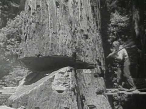 Näin valtavia punapuita kaadettiin kaliforniassa 1947