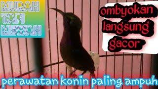 Download Video cara perawatan burung kolibri ninja ampuh bikin lebih cepat gacor MP3 3GP MP4