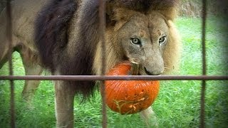 How Do Lions, Tigers, And Leopards Celebrate Halloween?