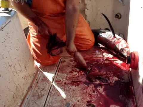 tuna fishin and cleaning