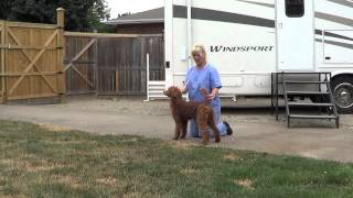 Poodle Puppy Training For Showing Conformation