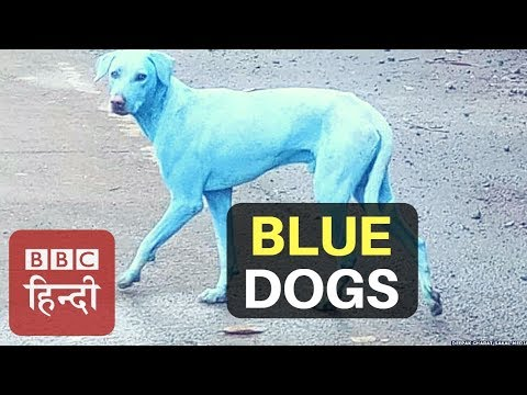 Have You Seen Blue Dog Before? (BBC Hindi)