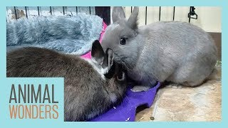 Rabbits Meet! | Will They Be Friends? by Animal Wonders