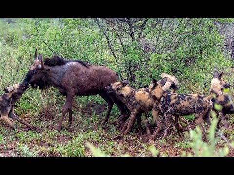 wild - Amazing video of a pack of wild dogs killing a wildebeest. Taken in the Kruger National Park in South Africa. For live wildlife sightings in the Kruger National Park: http://www.latestsightings.co...