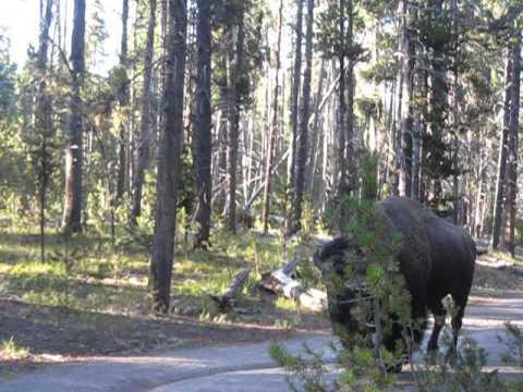 Encuentro con un bisonte