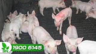Chăn nuôi lợn | Khắc phục lợn mắc bệnh E.coli dung huyết ghép dịch tả, phó thương hàn