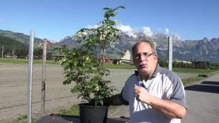 #658 Die Pimpernuss - Staphylea pinnata und colchica (Nachtrag zu #657)