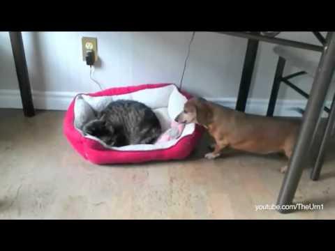 gatti che rubano la cuccia al cane