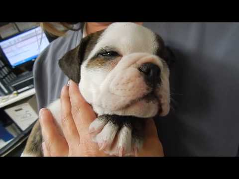 Bulldog puppy  with Umbilical Hernia Dr. Kraemer @Vet4Bulldog.com