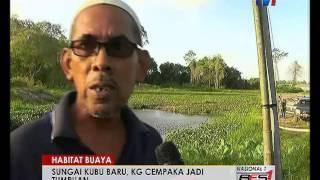 Kampung Lubok Buaya Malaysia  city photos : HABITAT BUAYA- SUNGAI KUBU BARU, KG CEMPAKA JADI TUMPUAN [26 JAN 2016]
