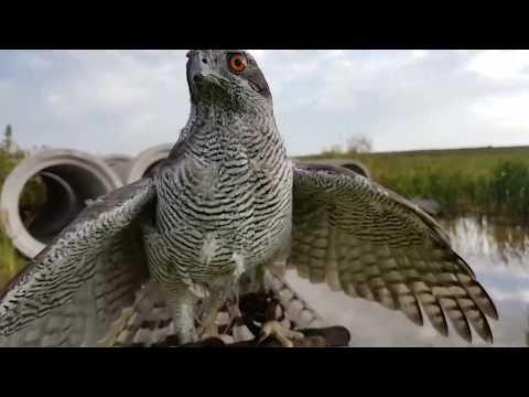Обучение ястреба-тетеревятника. День 1. Ловчие птицы