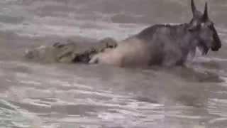 Wildebeest crossing 2