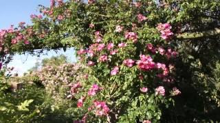 #962 Die Englische Ramblerrose American Pillar