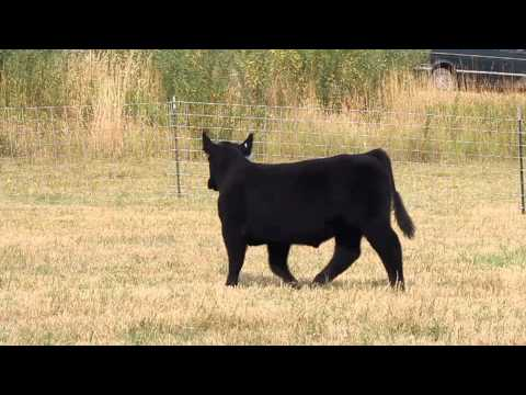 BODaciousX - Bear Lake Classic Club Calf Sale - Sept 23, 2013.