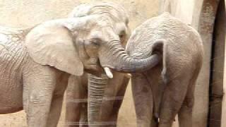 Слон бърка в задника на друг и яде... /18+/