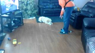 Standard Poodle Puppy Training
