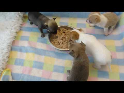 chihuahua puppies eating at 4 weeks old