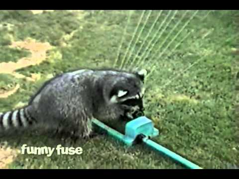 Raccoon Water Harp Sprinkler Solo Performance