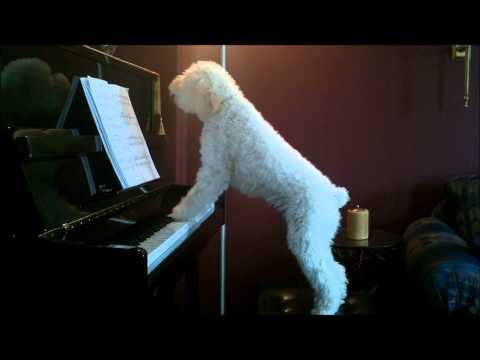 Fin sång och pianospel  av en hund